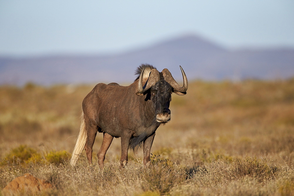 Black wildebeest (white-tailed gnu) (Connochaetes gnou), Mountain Zebra National Park, South Africa, Africa