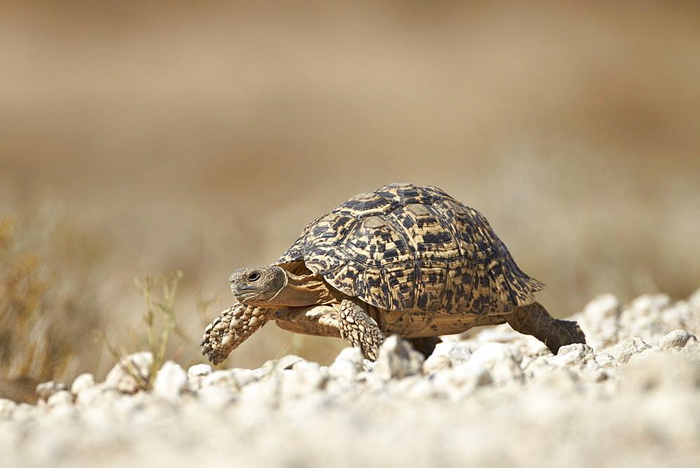 Leopard tortoise (Geochelone pardalis), Kgalagadi Transfrontier Park, encompassing the former Kalahari Gemsbok National Park, South Africa, Africa