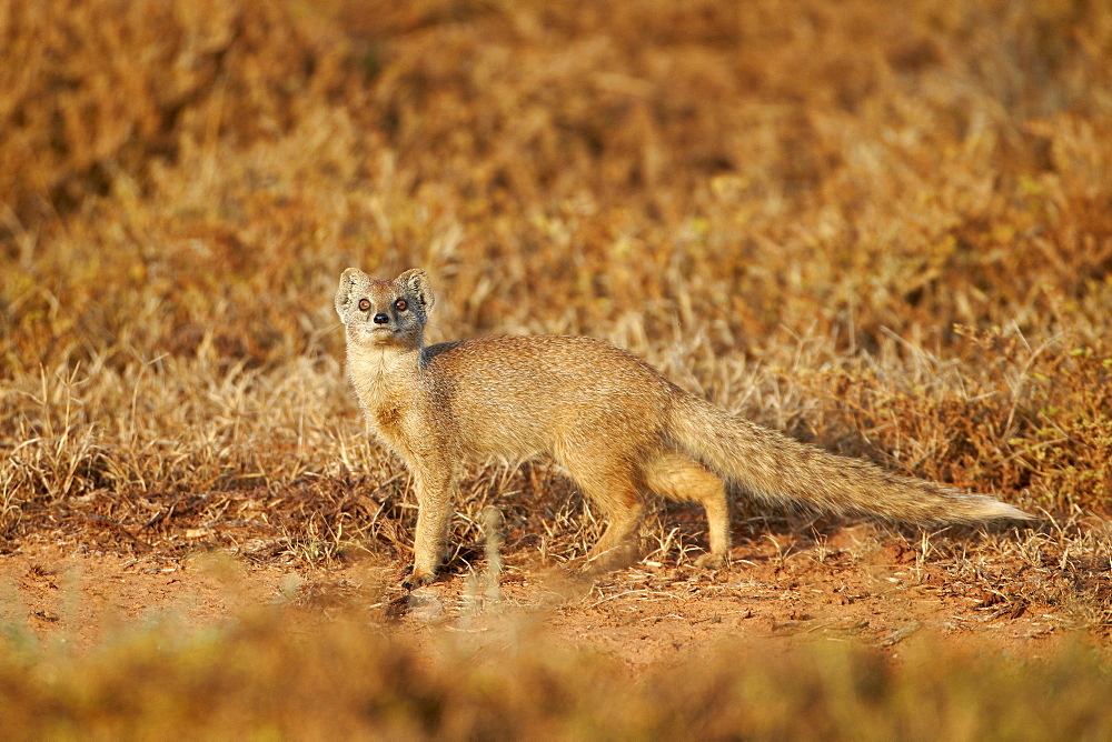 Yellow mongoose (Cynictis penicillata), Addo Elephant National Park, South Africa, Africa
