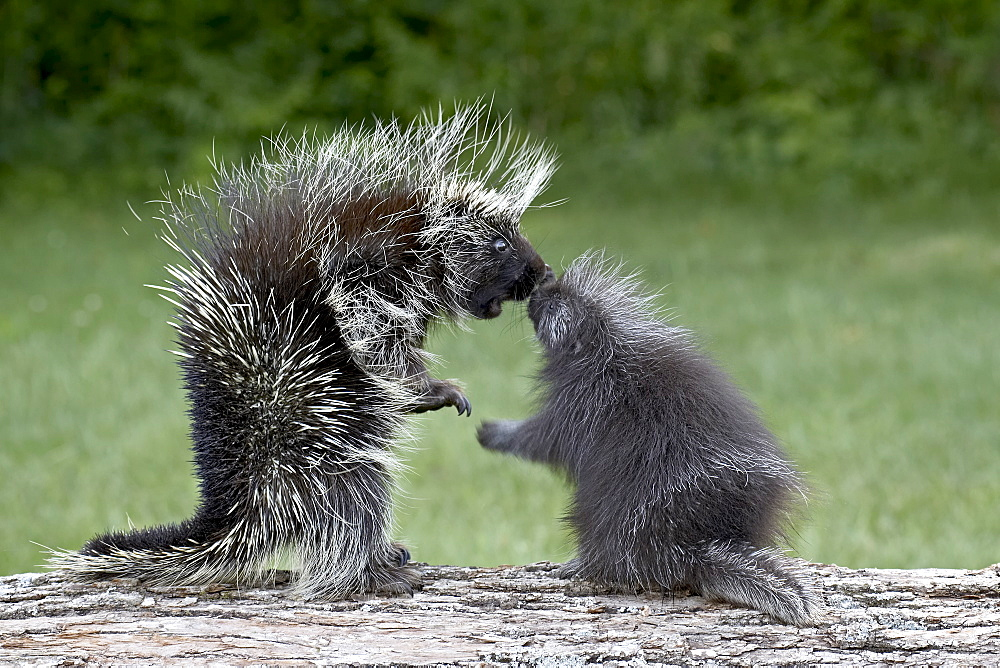 Porcupine (Erethizon dorsatum) in captitvity, mother and young face to face, Sandstone, Minnesota, United States of America, North America - 764-440