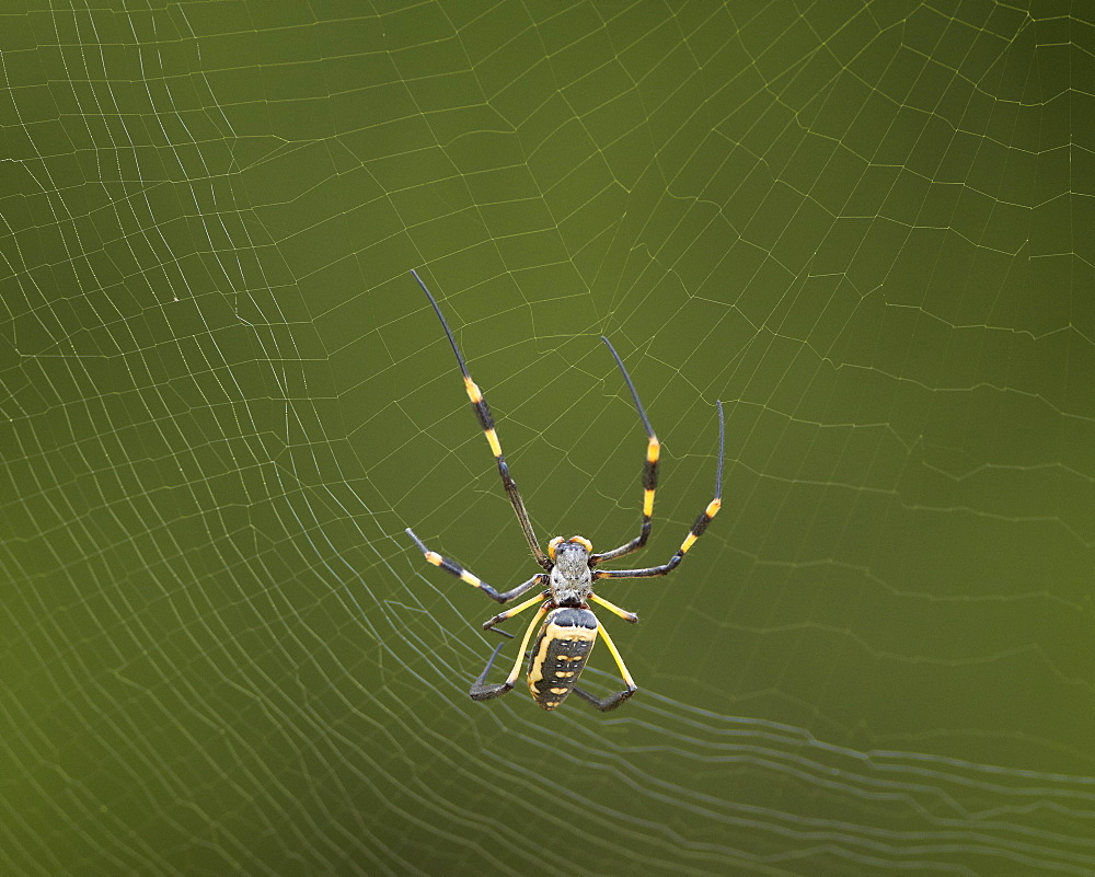 Female Banded-Legged Golden Orb Spider (Nephila senegalensis), Kruger National Park, South Africa, Africa