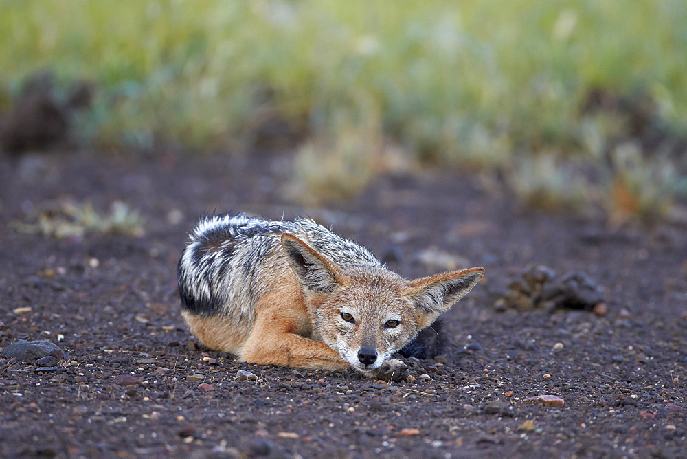 Black-Backed Jackal (Silver-Backed Jackal) (Canis mesomelas), Kruger National Park, South Africa, Africa