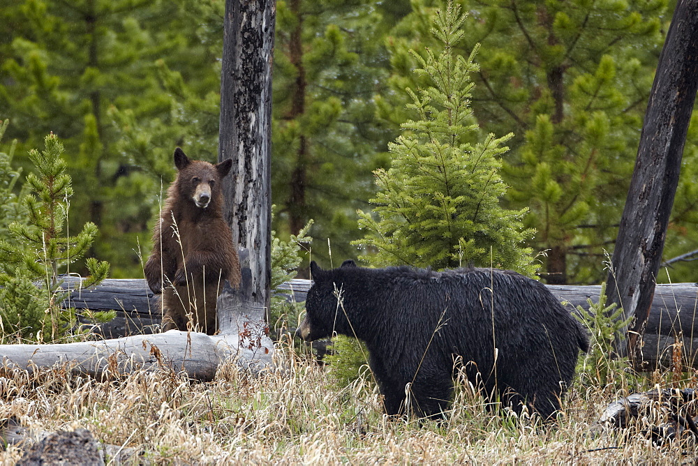Black Bear (Ursus americanus) sow and cub, Yellowstone National Park, Wyoming, United States of America, North America