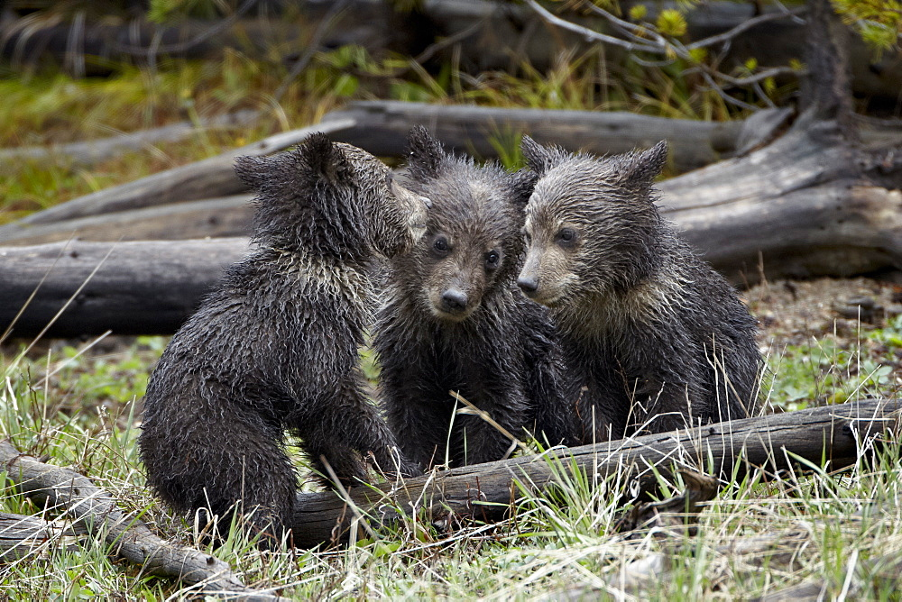 Three Grizzly Bear (Ursus arctos horribilis) cubs of the year, Yellowstone National Park, Wyoming, United States of America, North America