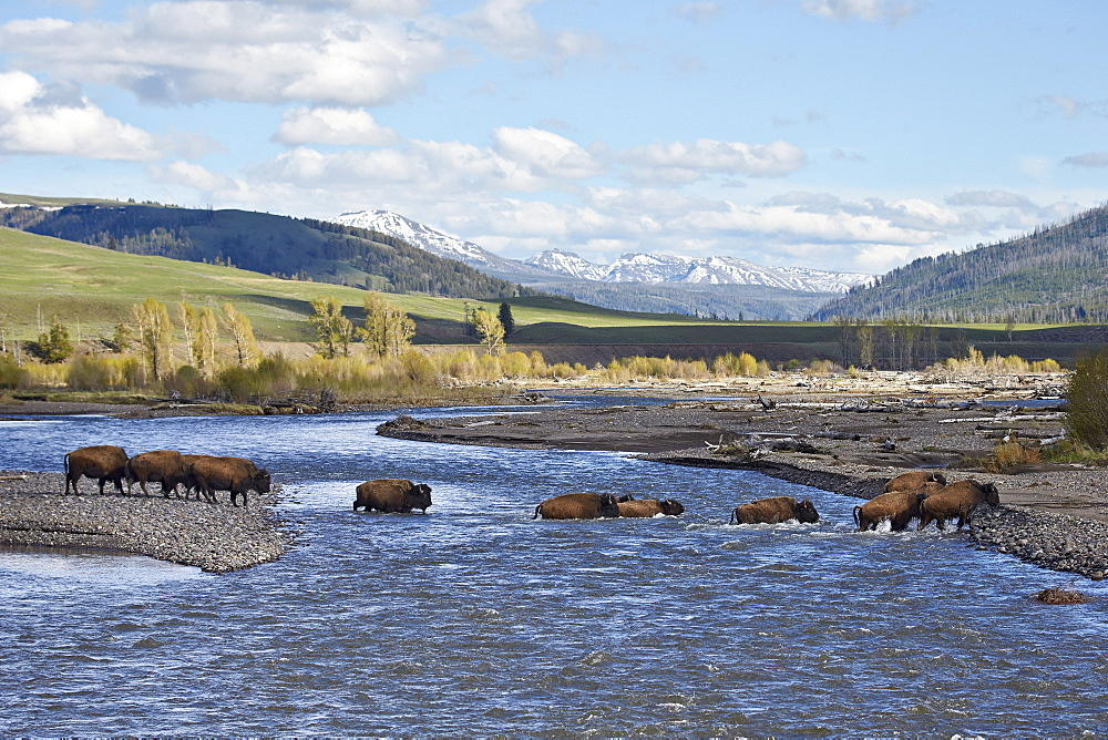 Line of Bison (Bison bison) crossing the Lamar River, Yellowstone National Park, UNESCO World Heritage Site, Wyoming, United States of America, North America