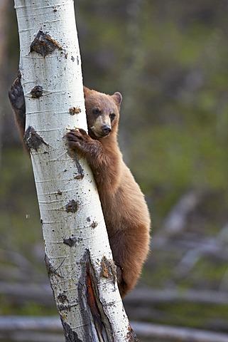 Cinnamon Black Bear (Ursus americanus) yearling cub climbing a tree, Yellowstone National Park, Wyoming, United States of America, North America