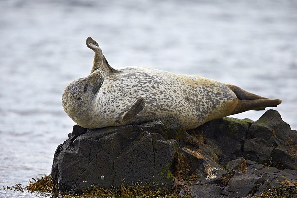Harbor Seal (Common Seal) (Phoca vitulina) stretching, Iceland, Polar Regions