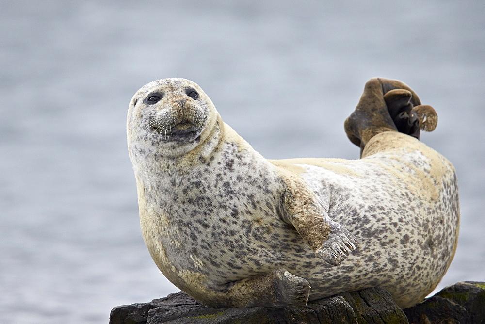 Harbor Seal (Common Seal) (Phoca vitulina), Iceland, Polar Regions