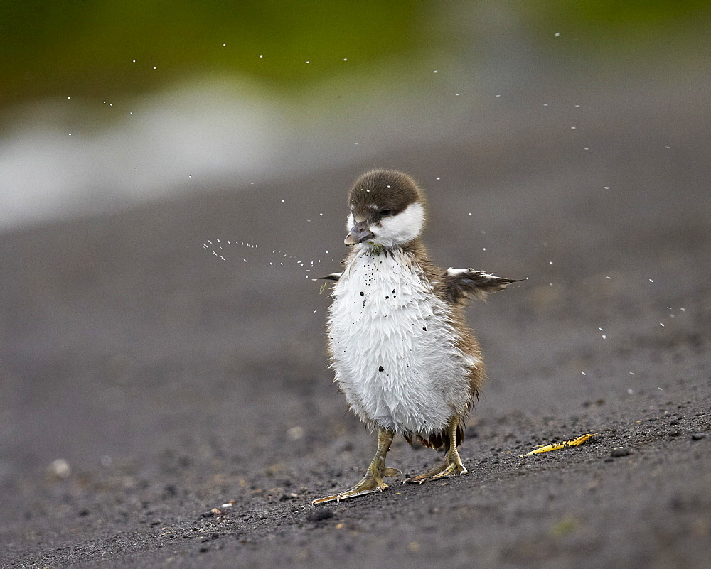 Harlequin duck (Histrionicus histrionicus) duckling drying off, Lake Myvatn, Iceland, Polar Regions  - 764-4564