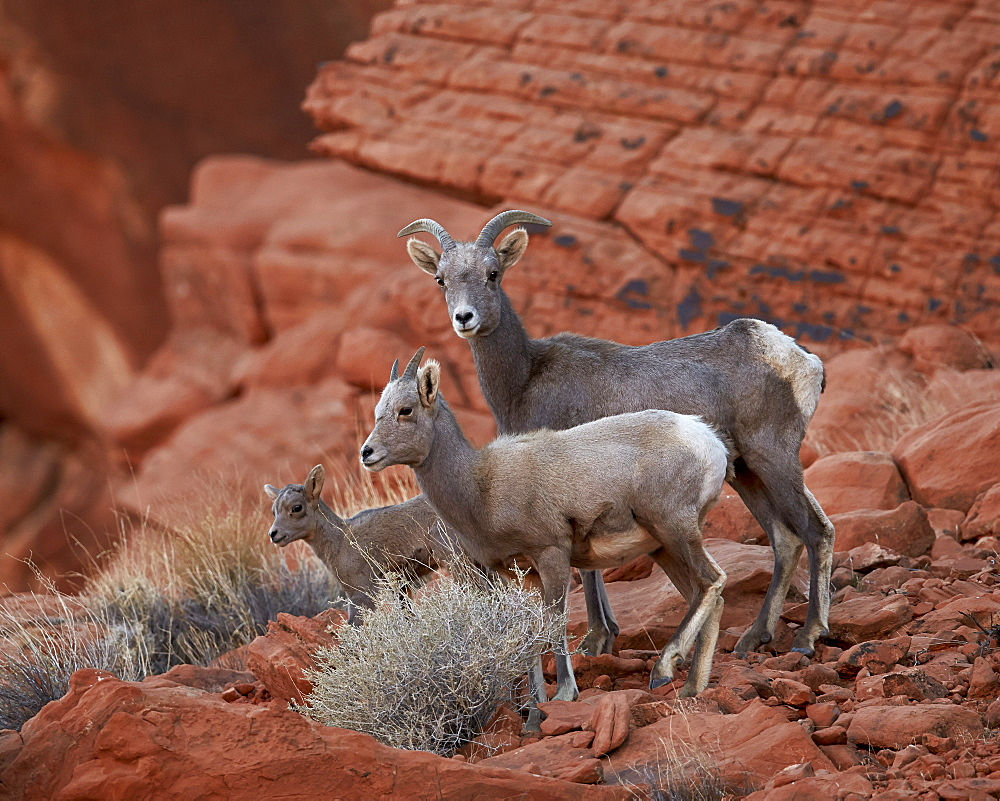 Desert Bighorn Sheep (Ovis canadensis nelsoni) ewe and two lambs, Valley of Fire State Park, Nevada, United States of America, North America