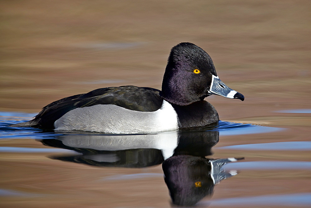 Ring-necked Duck (Aythya collaris) swimming, Clark County, Nevada, United States of America, North America