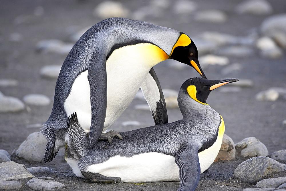 King penguin (Aptenodytes patagonica) pair mating, Salisbury Plain, South Georgia, Polar Regions