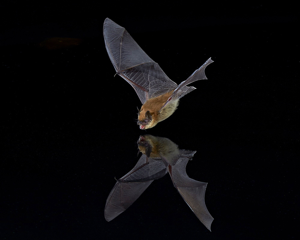 Southwestern Myotis (Myotis auriculus) in flight about to take a drink, Chiricahuas, Coronado National Forest, Arizona, United States of America, North America