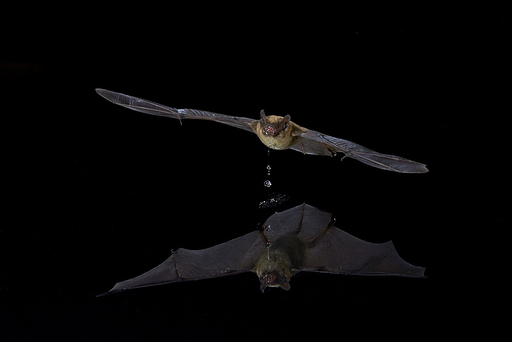 Southwestern Myotis (Myotis auriculus) in flight after taking a drink, Chiricahuas, Coronado National Forest, Arizona, United States of America, North America