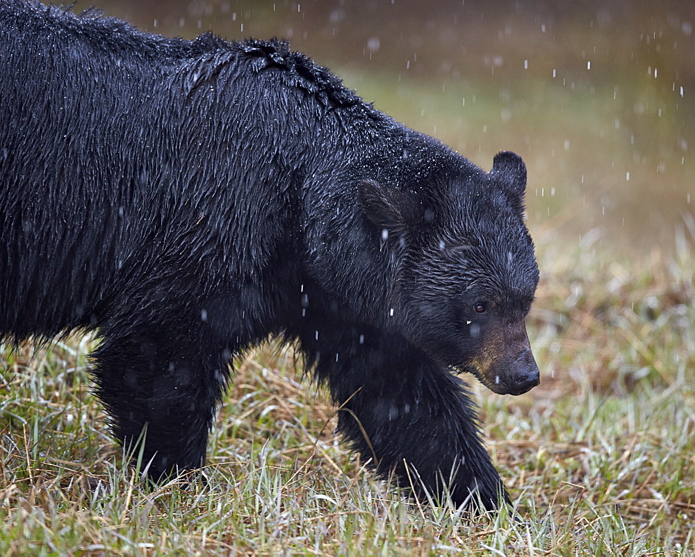 Black bear (Ursus americanus) in the snow, Yellowstone National Park, Wyoming, United States of America, North America