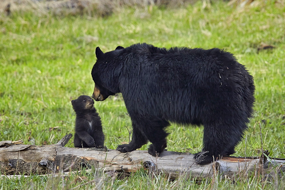 Black bear (Ursus americanus) sow and cub of the year, Yellowstone National Park, Wyoming, United States of America, North America