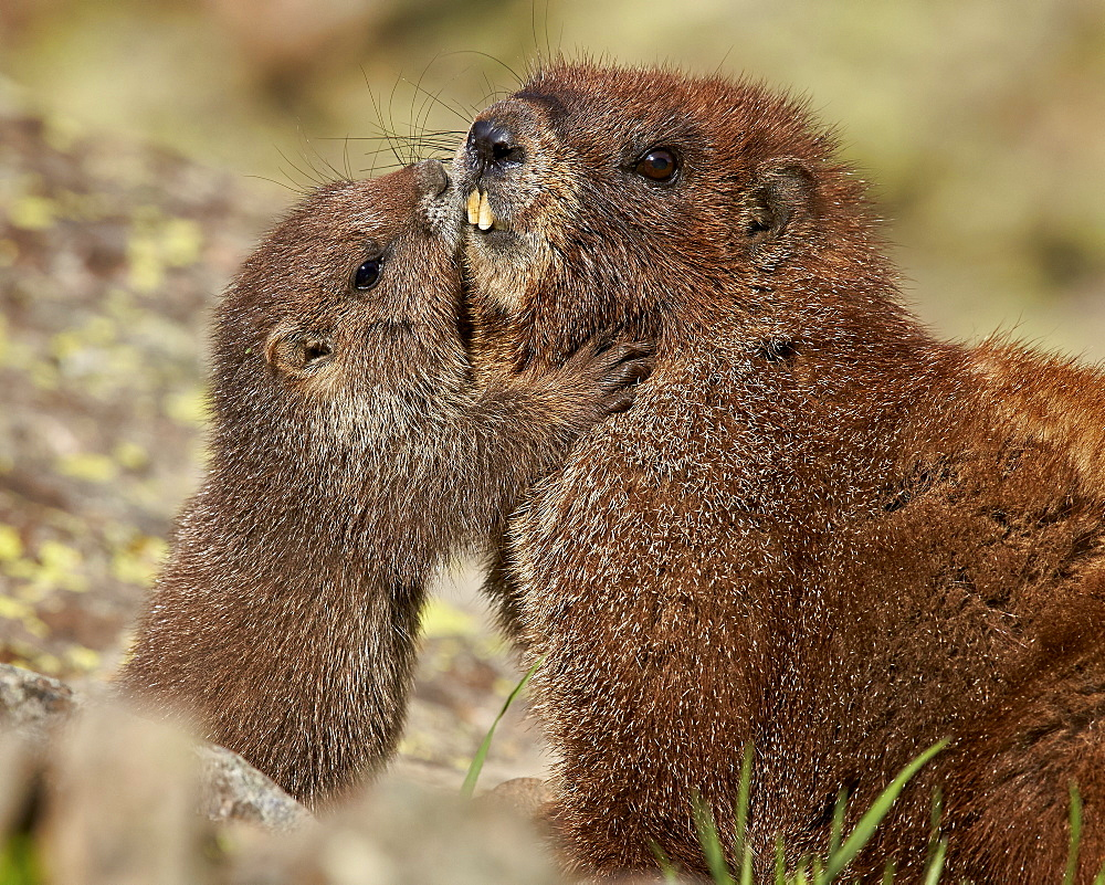 Yellow-bellied marmot (yellowbelly marmot) (Marmota flaviventris) young and adult, San Juan National Forest, Colorado, United States of America, North America - 764-4824