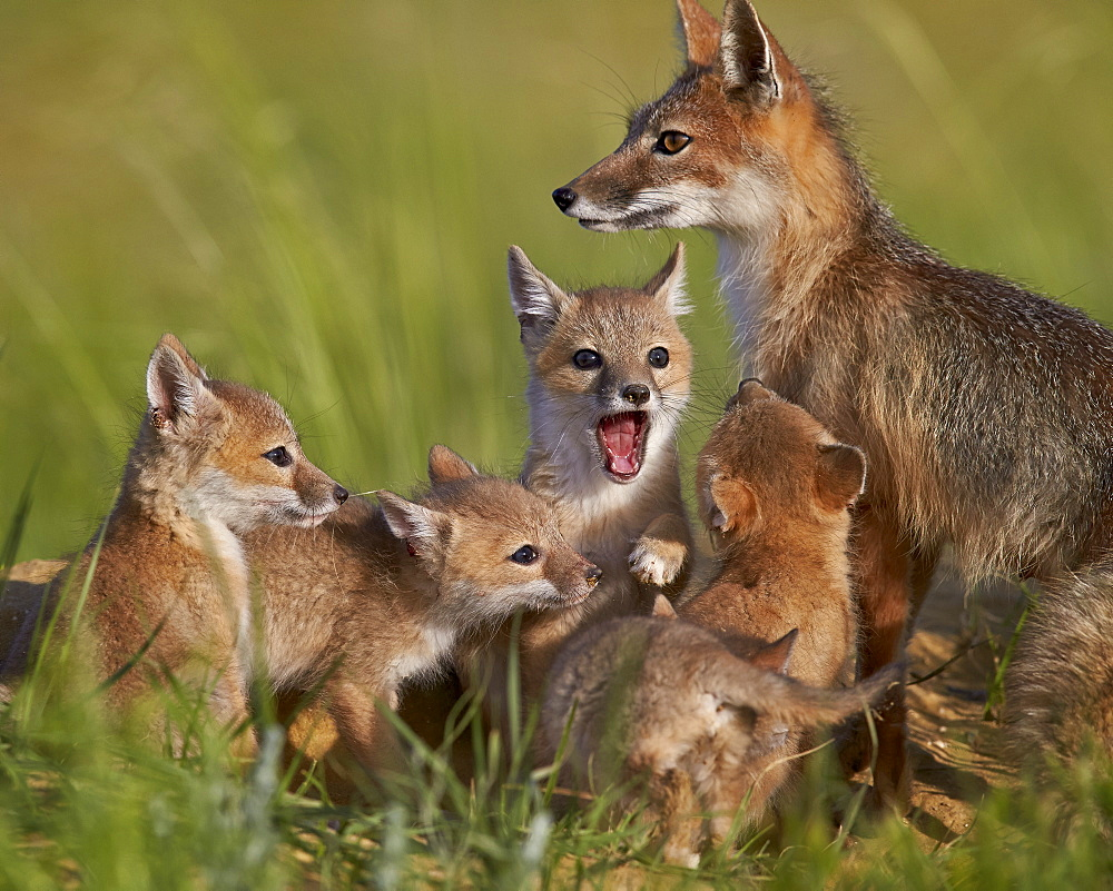 Swift fox (Vulpes velox) vixen and kits, Pawnee National Grassland, Colorado, United States of America, North America - 764-4827