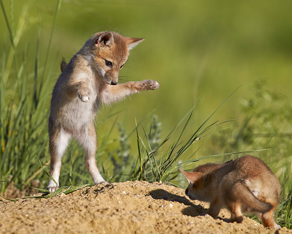 Swift fox (Vulpes velox) kits playing, Pawnee National Grassland, Colorado, United States of America, North America