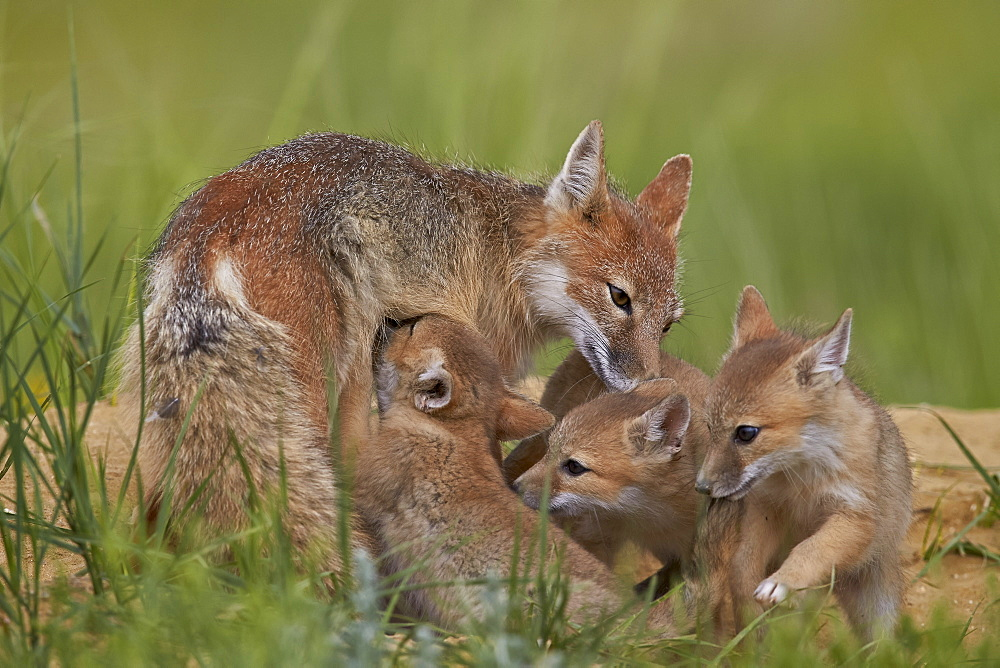 Swift fox (Vulpes velox) nursing, Pawnee National Grassland, Colorado, United States of America, North America