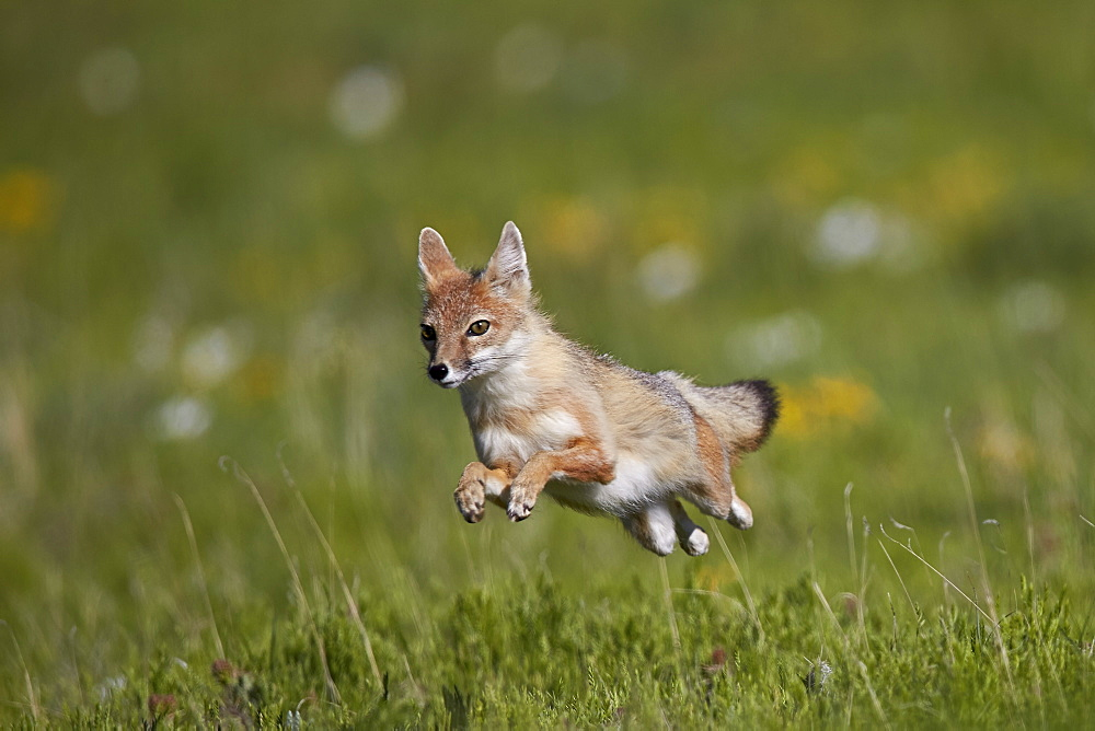 Swift fox (Vulpes velox) leaping, Pawnee National Grassland, Colorado, United States of America, North America