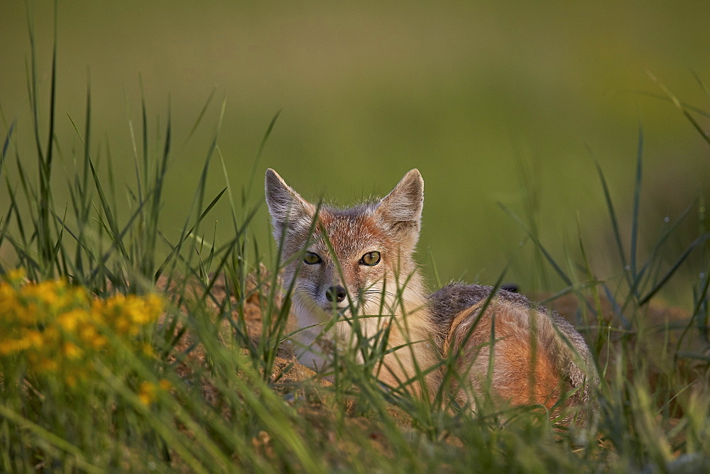 Swift fox (Vulpes velox), Pawnee National Grassland, Colorado, United States of America, North America