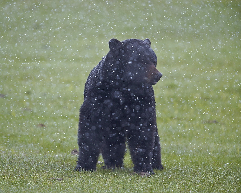 Black bear (Ursus americanus) in a spring snow storm, Yellowstone National Park, Wyoming, United States of America, North America