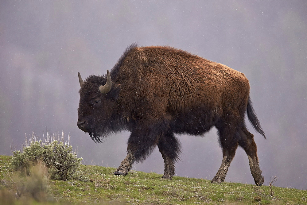 Bison (Bison bison), Yellowstone National Park, Wyoming, United States of America, North America