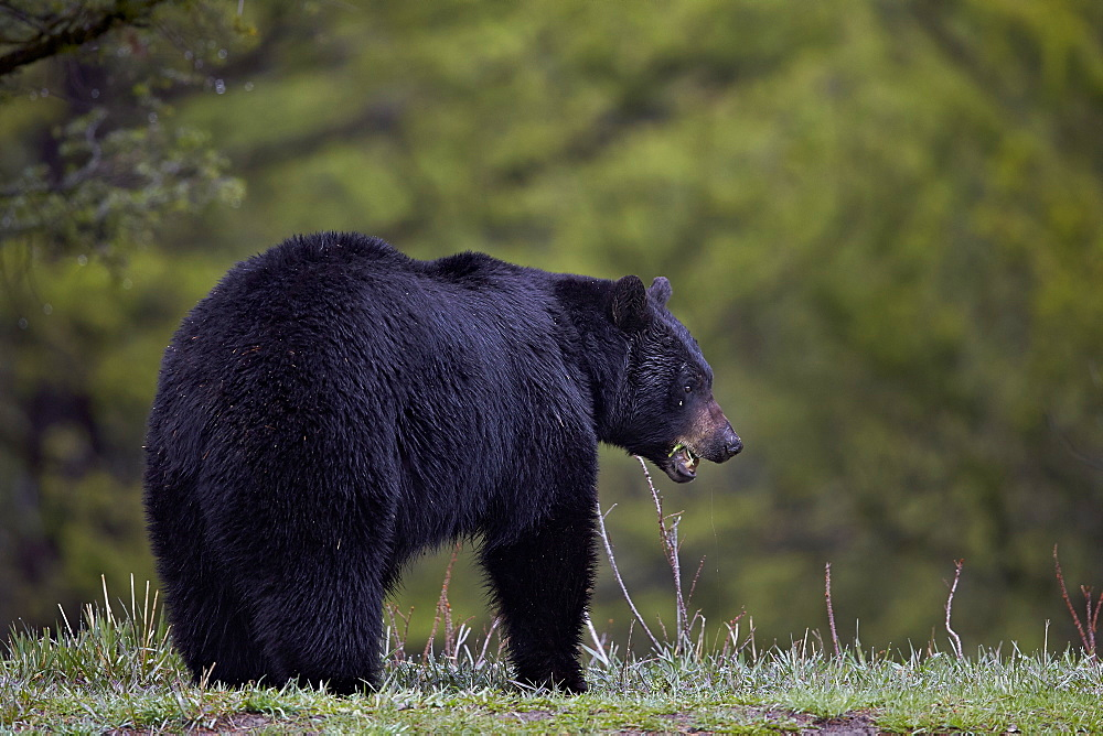 Black bear (Ursus americanus) in the spring, Yellowstone National Park, Wyoming, United States of America, North America