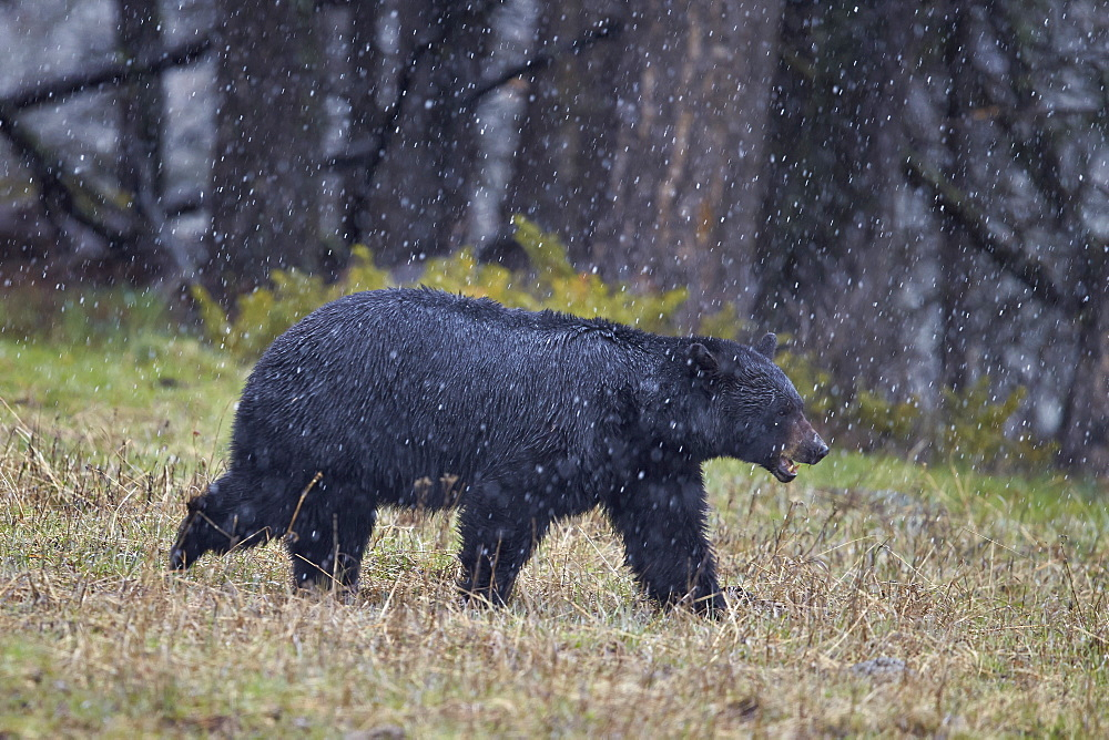 Black bear (Ursus americanus) in the snow, Yellowstone National Park, UNESCO World Heritage Site, Wyoming, United States of America, North America