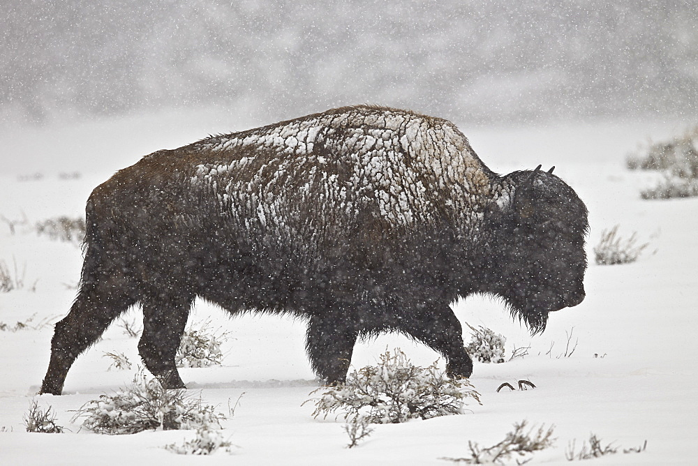 Bison (Bison bison) bull in a spring snowstorm, Yellowstone National Park, UNESCO World Heritage Site, Wyoming, United States of America, North America