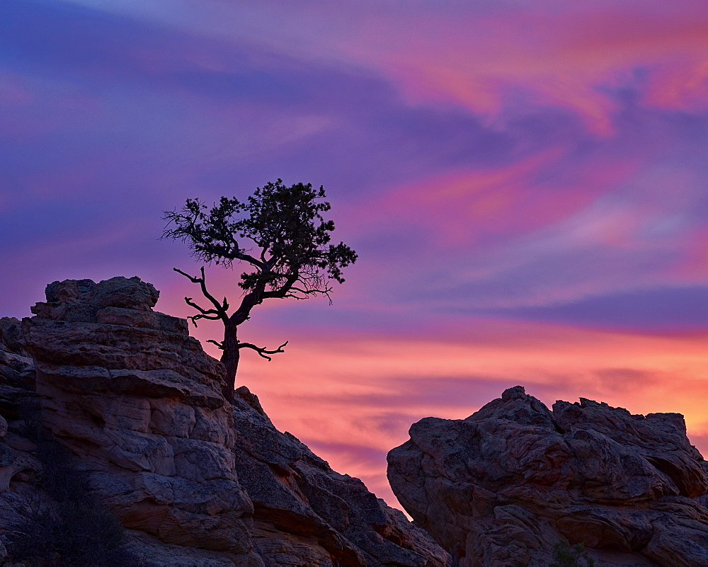 Tree on sandstone silhouetted at sunset with purple clouds, Coyote Buttes Wilderness, Vermilion Cliffs National Monument, Arizona, United States of America, North America