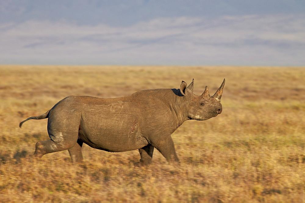 Black rhinoceros (hook-lipped rhinoceros) (Diceros bicornis) running, Ngorongoro Crater, Tanzania, East Africa, Africa