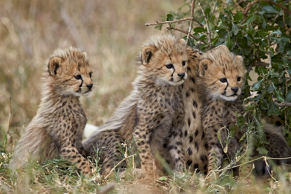 Three cheetah (Acinonyx jubatus) cubs about a month old, Serengeti National Park, Tanzania, East Africa, Africa