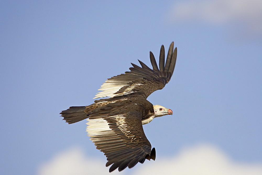 White-headed vulture (Trigonoceps occipitalis) soaring, Masai Mara National Reserve, Kenya, East Africa, Africa