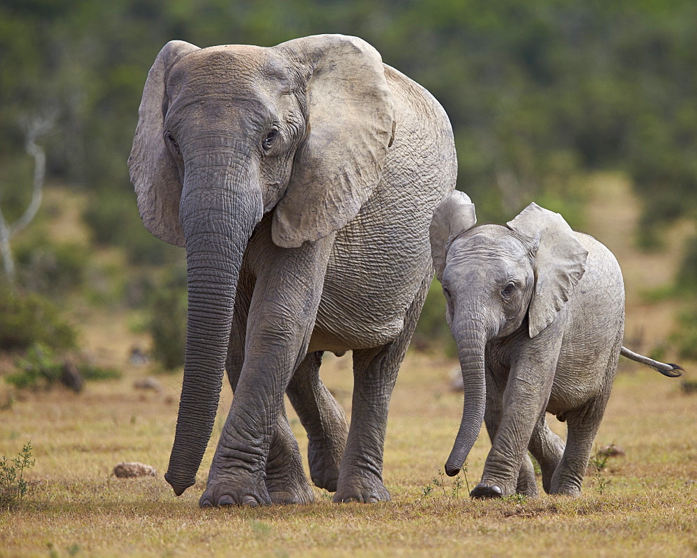 African elephant (Loxodonta africana) adult and young, Addo Elephant National Park, South Africa, Africa