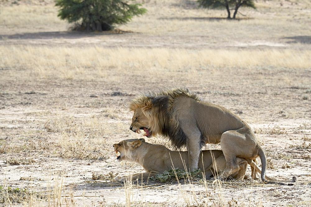 Lion (Panthera leo) mating, Kgalagadi Transfrontier Park, encompassing the former Kalahari Gemsbok National Park, South Africa, Africa