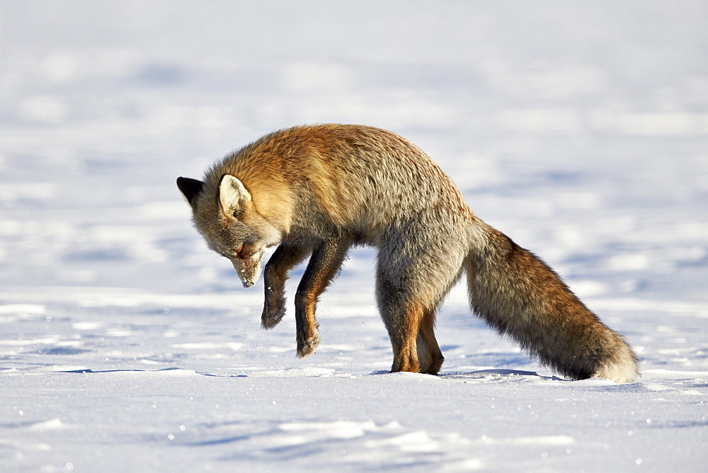 Cross Fox, Red Fox (Vulpes vulpes) (Vulpes fulva) pouncing on prey in the snow, Grand Teton National Park, Wyoming, United States of America, North America