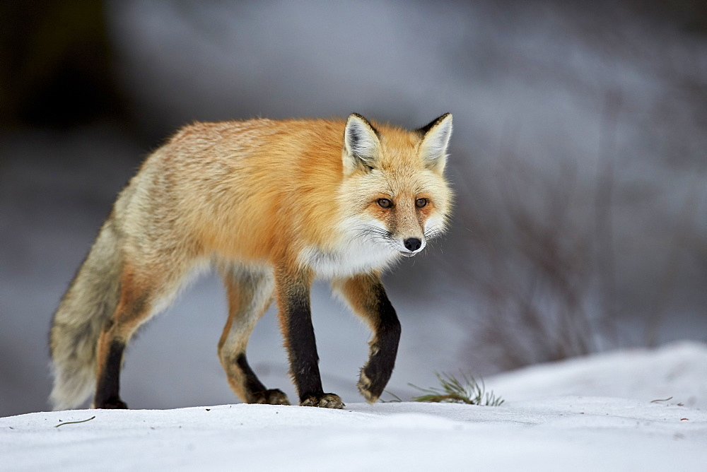 Red Fox (Vulpes vulpes) (Vulpes fulva) in winter, Grand Teton National Park, Wyoming, United States of America, North America