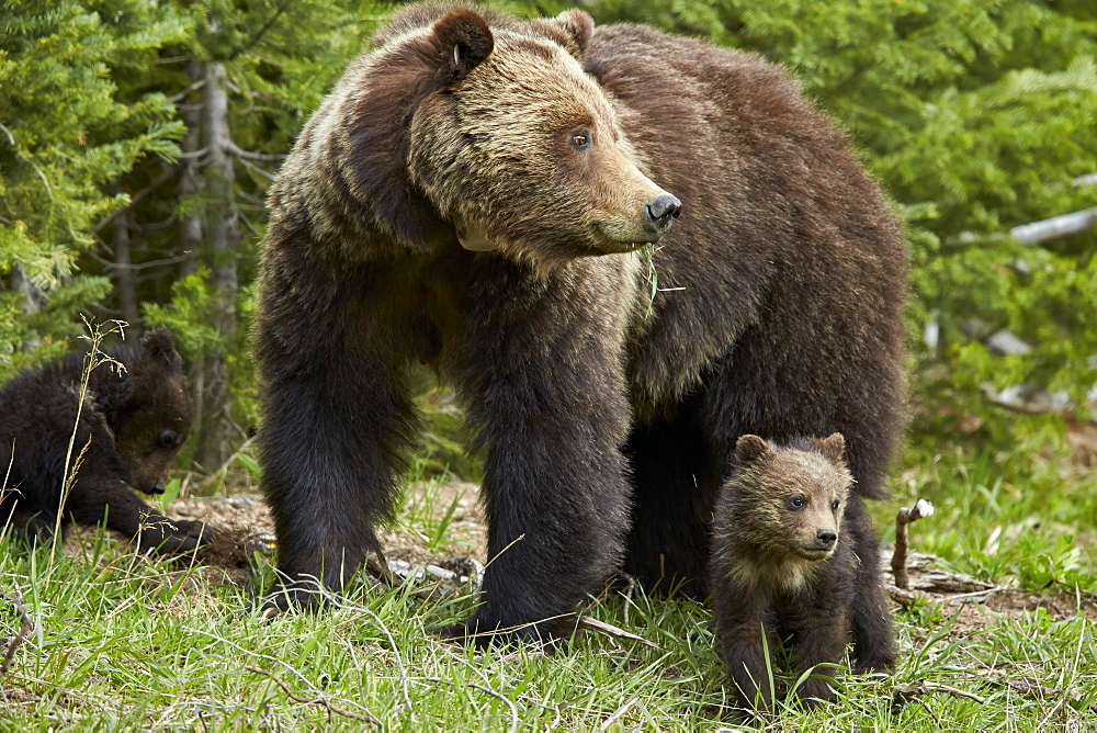 Grizzly bear (Ursus arctos horribilis) sow and two cubs of the year, Yellowstone National Park, Wyoming, United States of America, North America