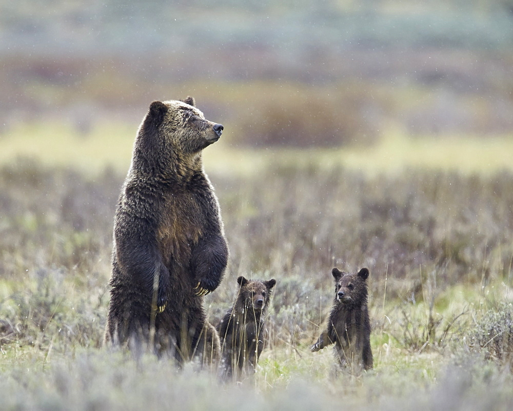 Grizzly bear (Ursus arctos horribilis) sow and two cubs of the year all standing up on their hind legs, Yellowstone National Park, Wyoming, United States of America, North America