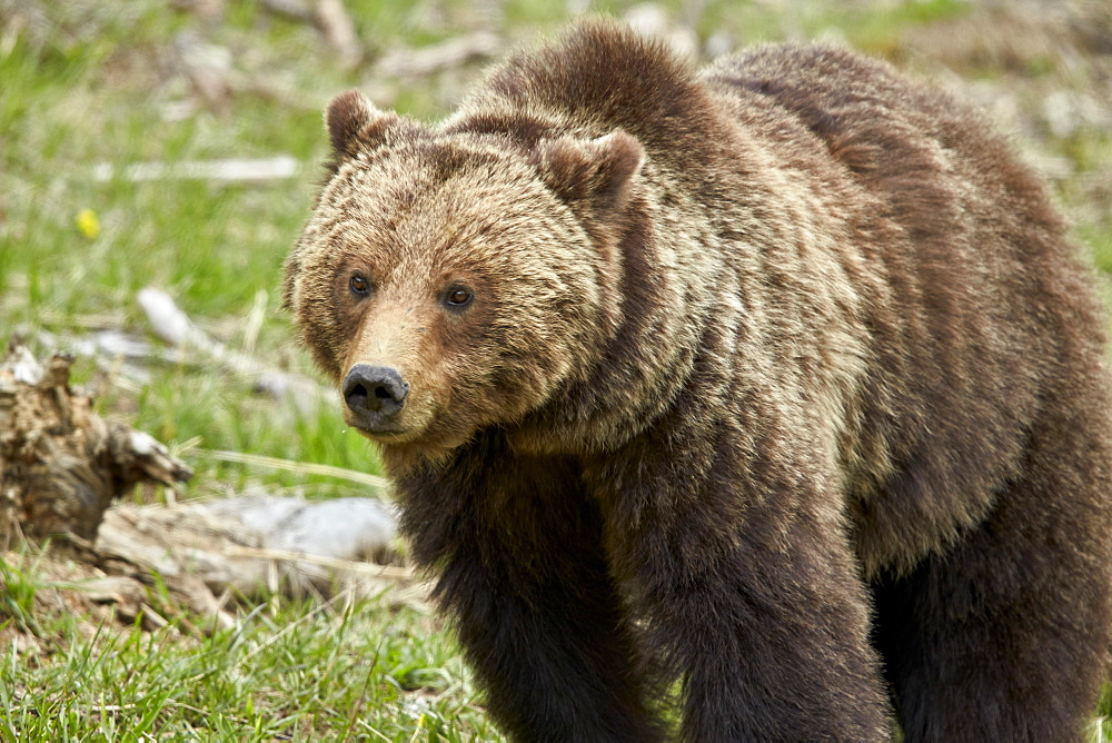 Grizzly bear (Ursus arctos horribilis) sow, Yellowstone National Park, Wyoming, United States of America, North America