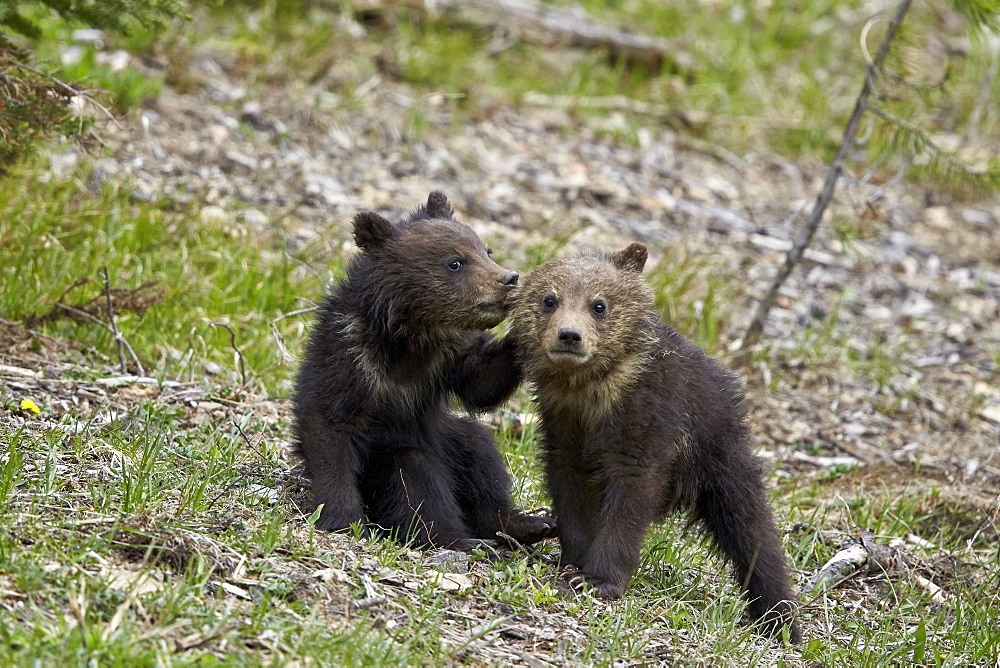 Two Grizzly Bear (Ursus arctos horribilis) cubs of the year or spring cubs playing, Yellowstone National Park, Wyoming, United States of America, North America