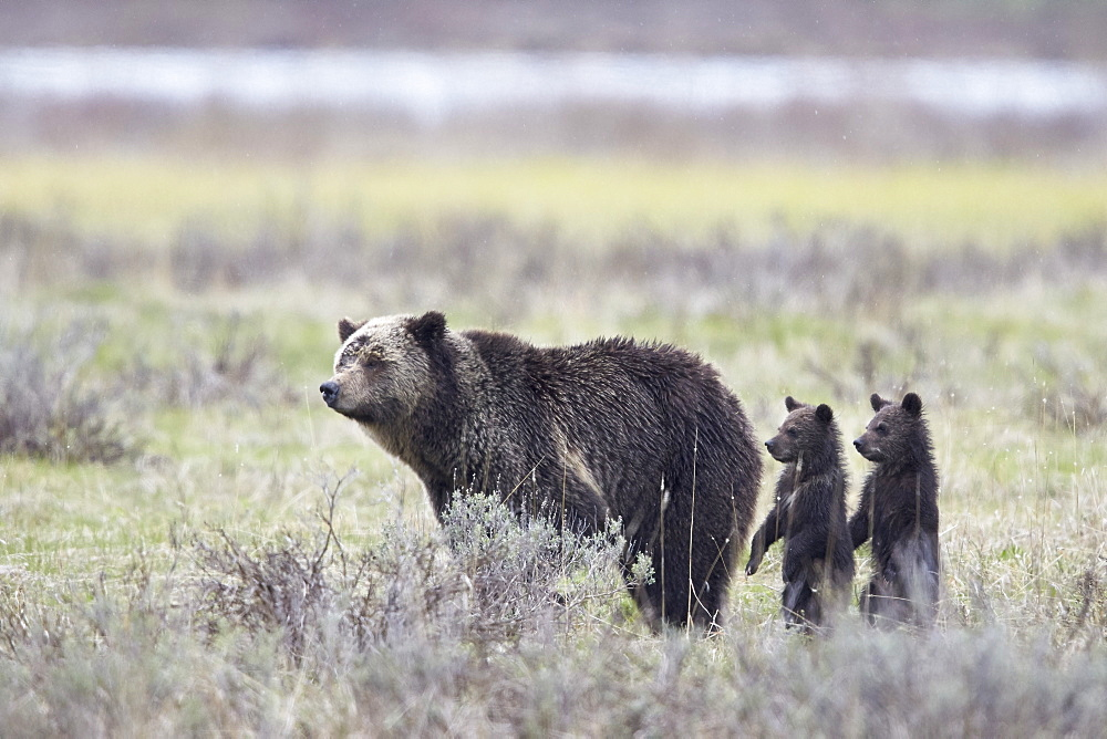 Grizzly Bear (Ursus arctos horribilis) sow and two cubs of the year or spring cubs standing, Yellowstone National Park, Wyoming, United States of America, North America