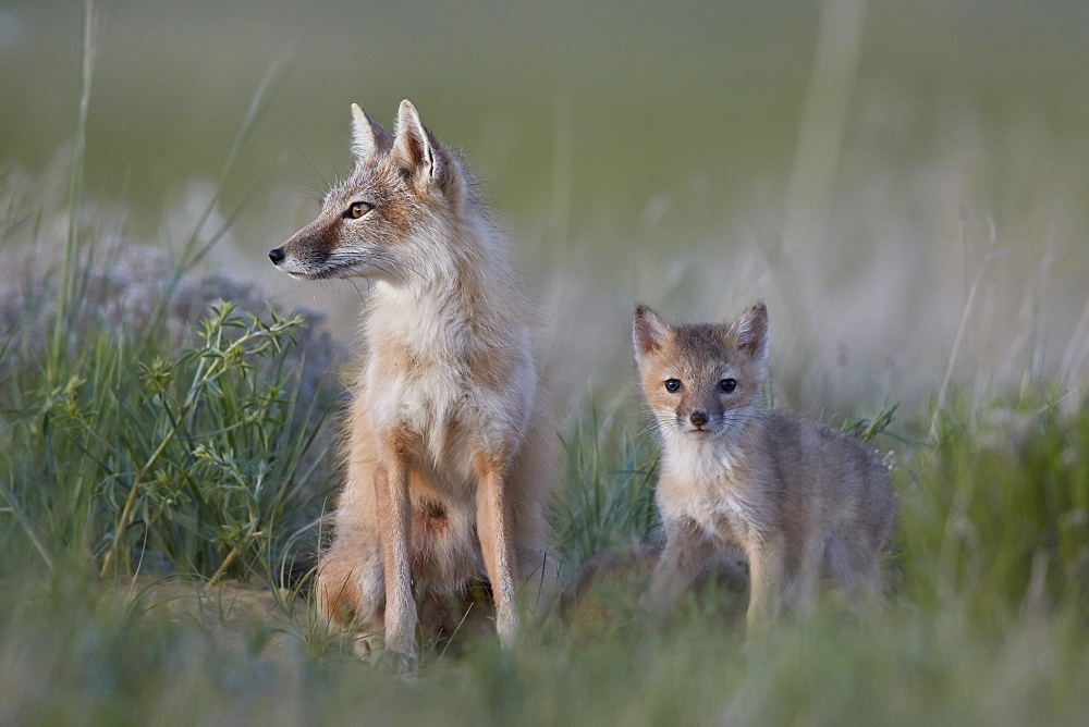 Swift Fox (Vulpes velox) vixen and kit, Pawnee National Grassland, Colorado, United States of America, North America