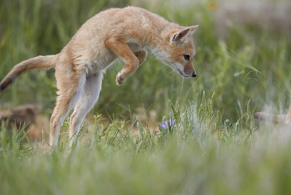 Swift Fox (Vulpes velox) kit pouncing, Pawnee National Grassland, Colorado, United States of America, North America