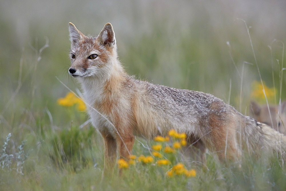 Swift Fox (Vulpes velox) vixen, Pawnee National Grassland, Colorado, United States of America, North America