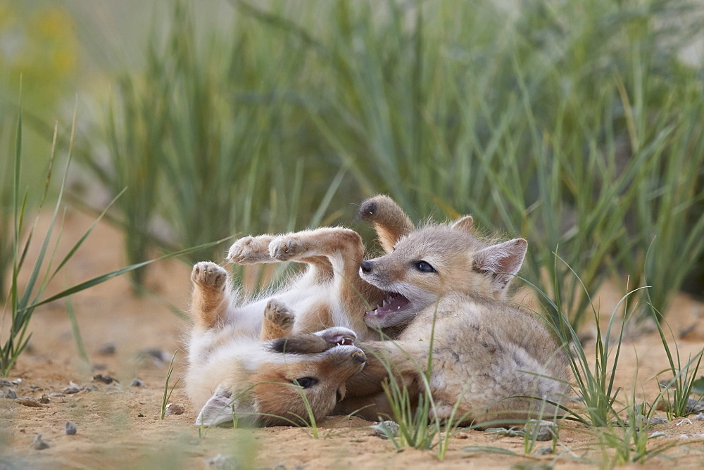 Swift Fox (Vulpes velox) kits playing, Pawnee National Grassland, Colorado, USA