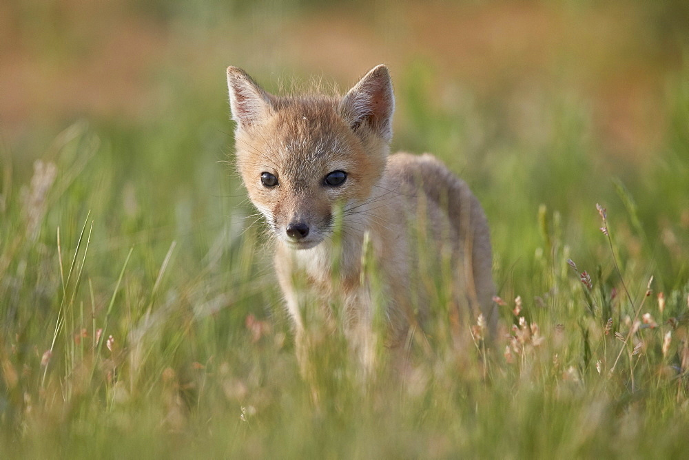 Swift fox (Vulpes velox) kit, Pawnee National Grassland, Colorado, United States of America, North America