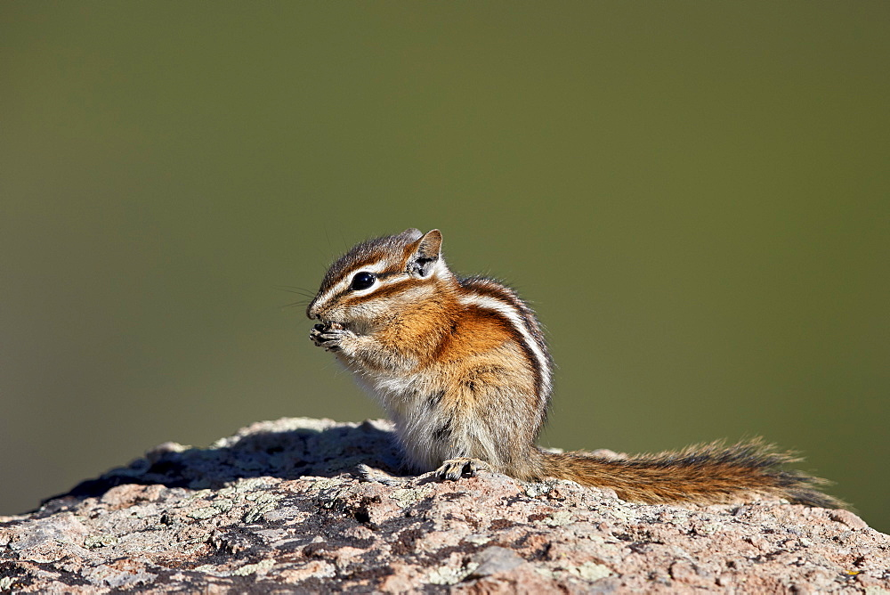 Least chipmunk (Tamias minimus) (Neotamias minimus (Eutamias minimus), San Juan National Forest, Colorado, United States of America, North America